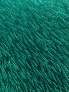 sardinas snorkel en moalboal