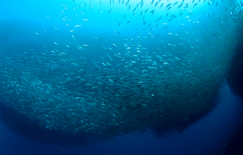 banco sardinas Moalboal