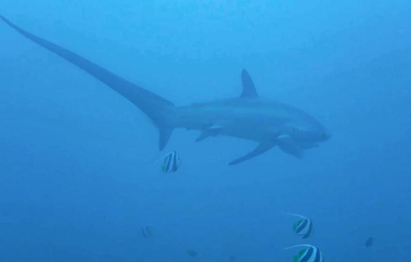 tiburon zorro malapascua